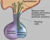 o = pituitary gland • Acts in response to stimulus from hypothalmus • Consists of an