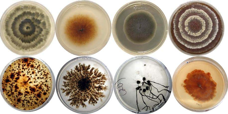 56 A. E. Arnold Fig. 1 – Assortment of ascomycetous endophytic fungi recovered from foliage of
