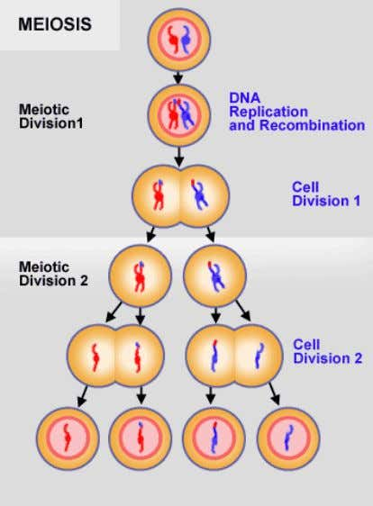 Meiosis After chromosomes replicate themselves, they pair up with their partners. Crossing over may take place