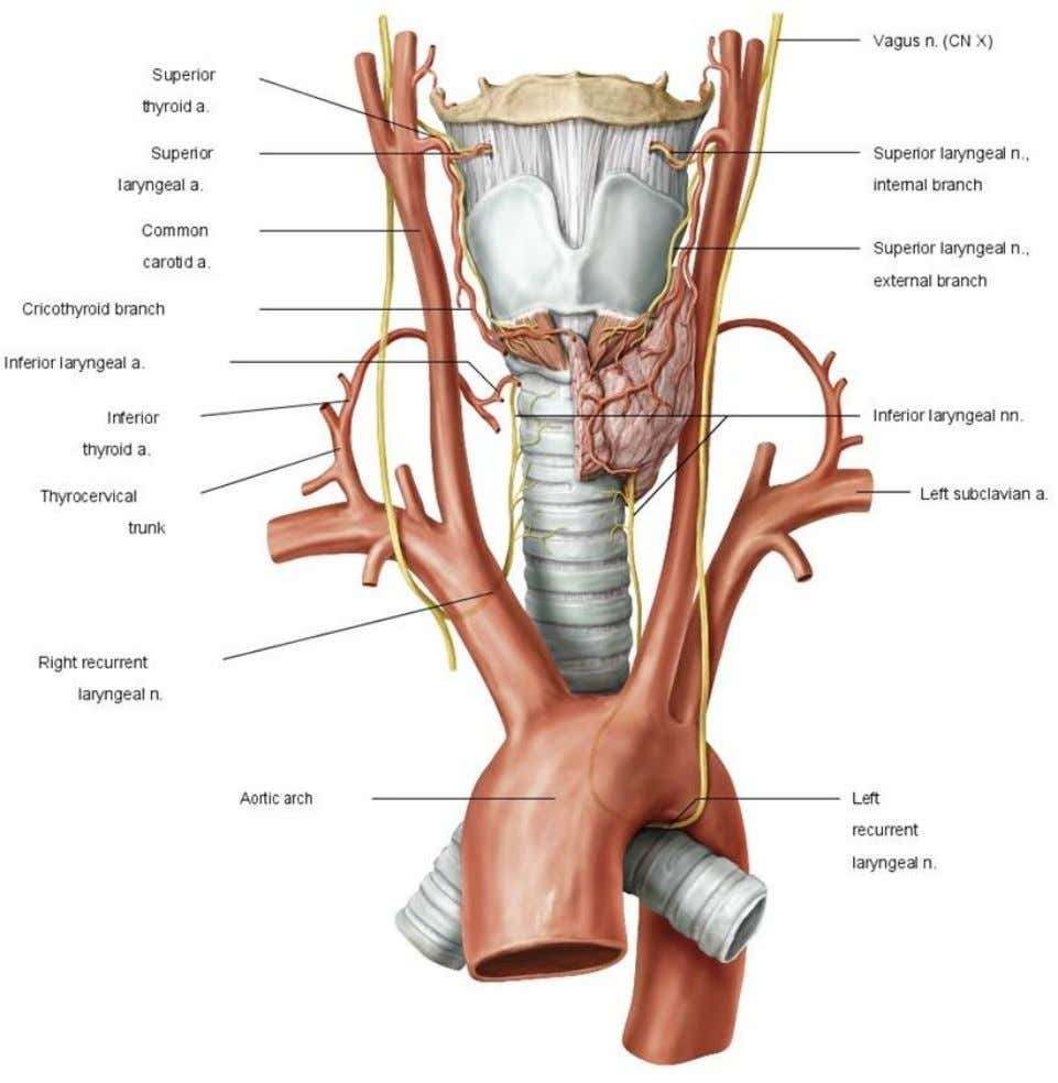 Figure 5. 4 Head and neck ateries and nerves: anterior view COVIDIEN, COVIDIEN with logo and
