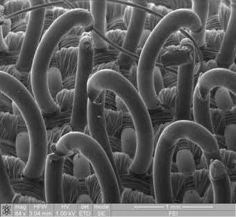 Newsletter of North East India Research Forum Figure 4: SEM image of Velcro fibre (Image from