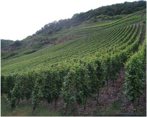 and Mosel in Ger- many are still reaping by hand just as The vineyards of the