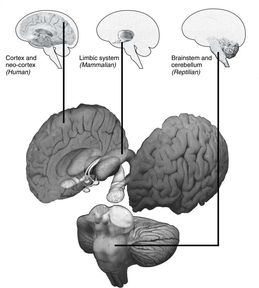 Cortex and Limbic system Brainstem and neo-cortex (Mammalian) cerebellum (Human) (Reptilian)