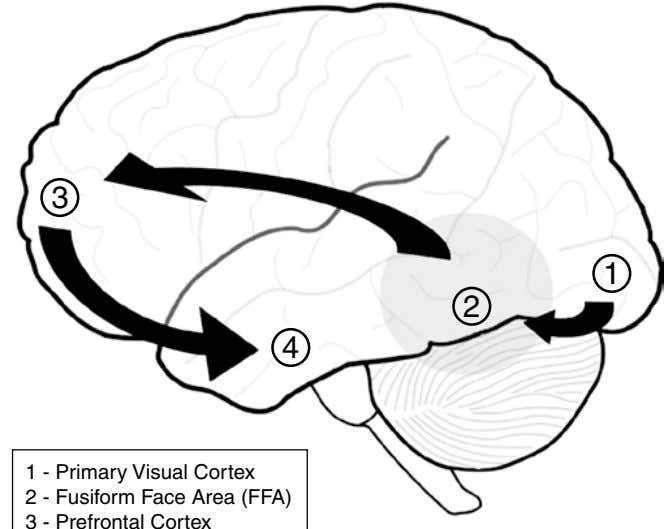 3 1 2 4 1 - Primary Visual Cortex 2 - Fusiform Face Area (FFA)