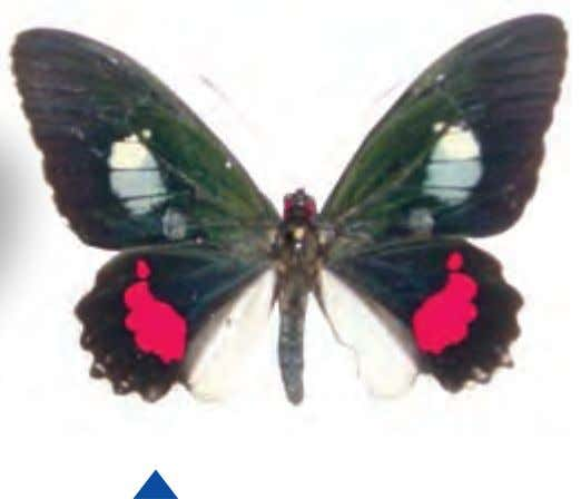 only from October through May, Australia's summer months. Common Cattleheart Parides iphidamas Central to South