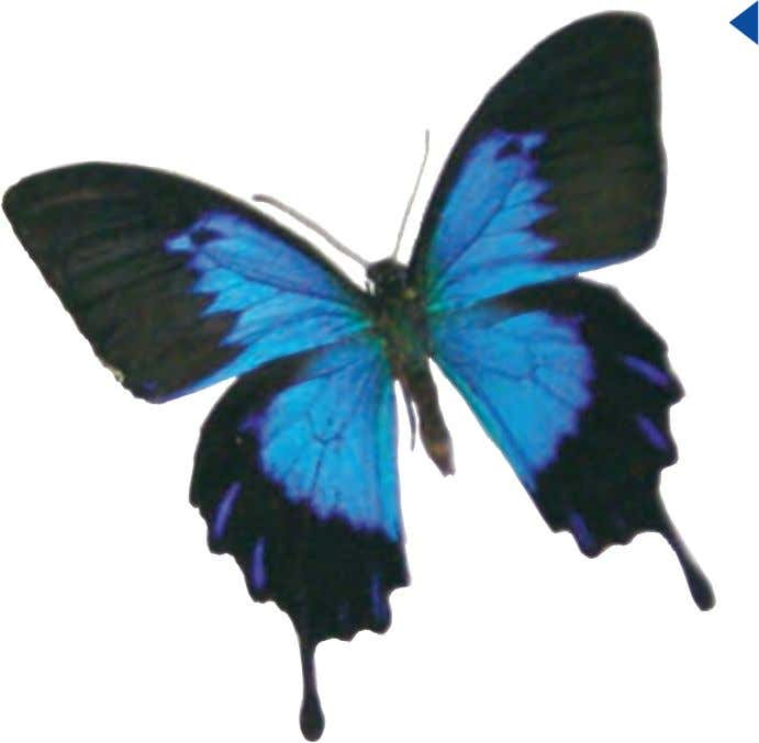be told by the behavior of flitting from flower to flower. Ulysses or Blue Mountain Swallowtail