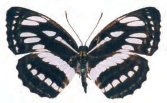 angles. Females lack the white spot on the hindwings. Metallic Blue Wave Myscelia cyaniris Central to