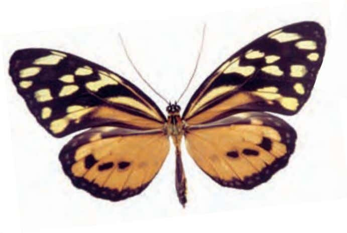 from the tendency of many species to have transparent wings. Spotted Tiger Glassywing Tithorea tarricina Central