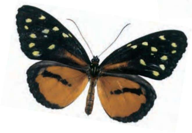 America Glassywings can be identified from longwing butterflies by the width of the thorax, which is