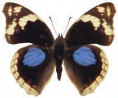 Nymphalidae Top Bottom Blue-spotted Pansy Precis oenone Africa south of the Sahara An aggressive butterfly that