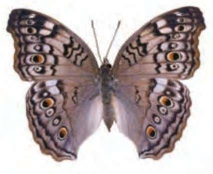 Lacy pattern on the underside gives this species its name. Grey Pansy Precis atlites Asia Watch