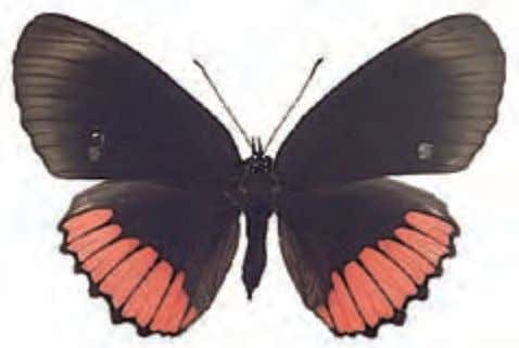 The red underside of the wings distinguishes this species. Male Female Red Rim Biblis hyperia Central