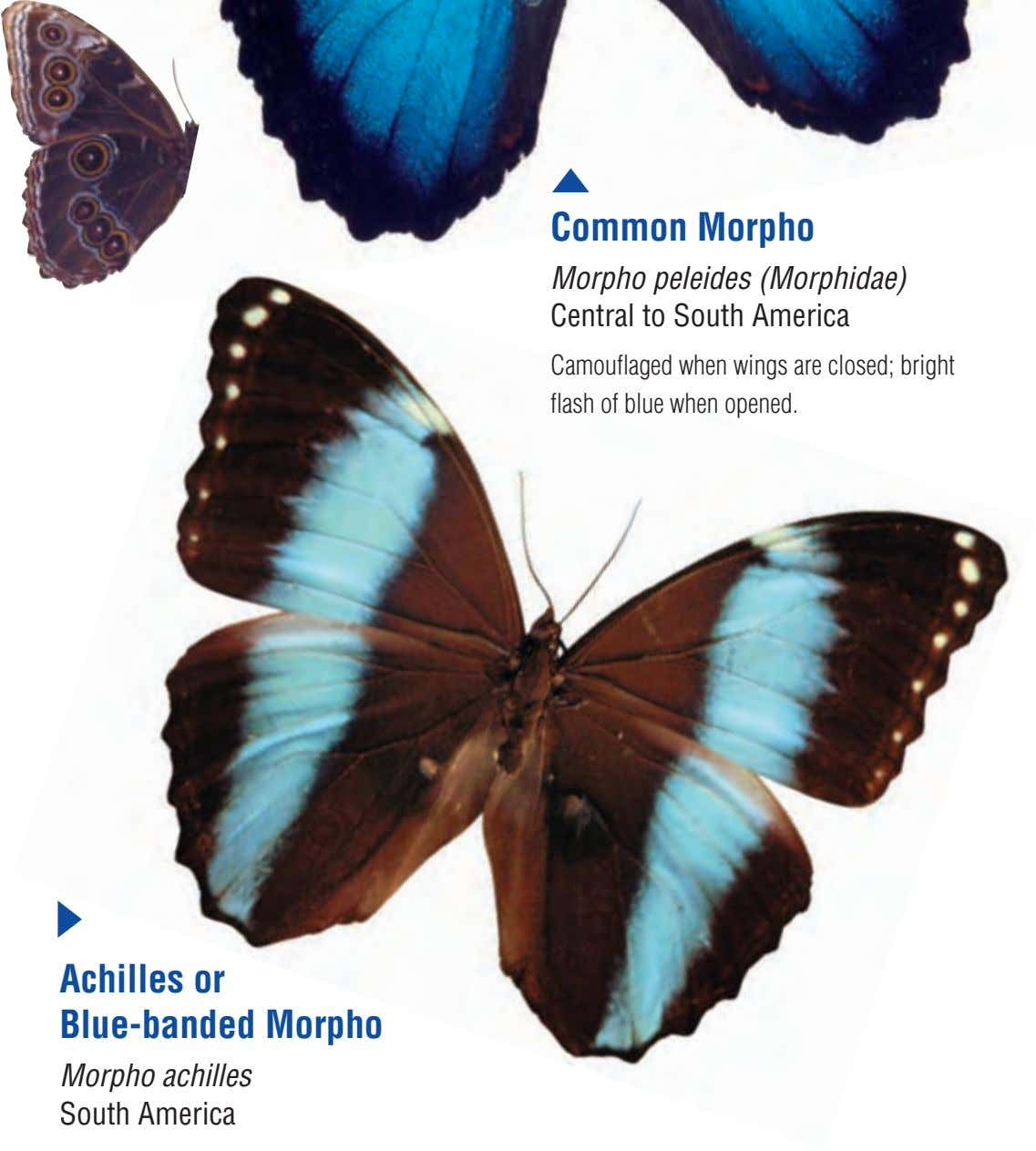 Common Morpho Morpho peleides (Morphidae) Central to South America Camouflaged when wings are closed; bright