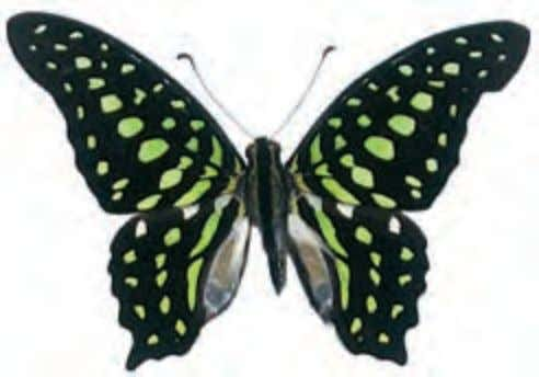 "known as ""orange dogs,"" are pests of citrus trees. Tailed Jay Graphium Agamemnon Asia When nectaring"