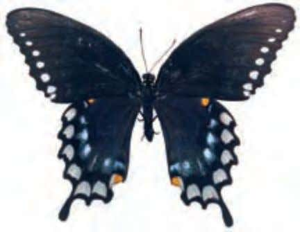 Papilionidae Spicebush Swallowtail Papilio Troilus United States This butterfly gets its name from the food plant