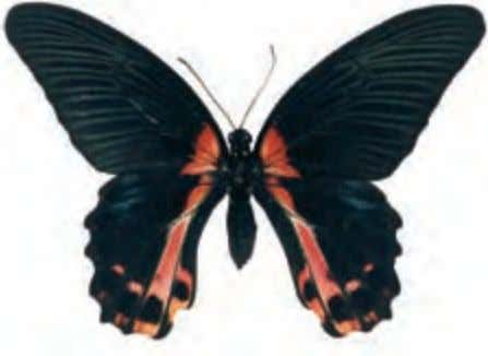 open-winged in the sun. The females mimic Cattlehearts. Scarlet Mormon Papilio rumanzovia Southeast Asia Although