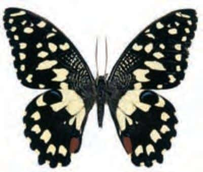 tailless swallowtail develop with a tail on each wing. Top Bottom Checkered Swallowtail Papilio demoleus