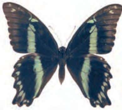 Caterpillars feed on plants in the custard apple family. Male Female African Blue-banded Swallowtail Papilio nireus