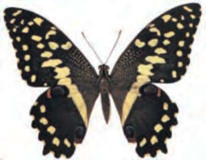 Caterpillars feed on trees in the citrus family. Orchard Swallowtail Papilio demodocus Africa This species