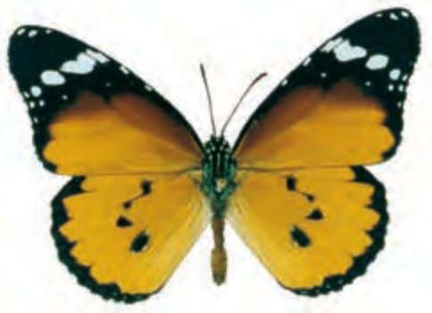 are used as models for mimicry. Caterpillars feed on Ficus. Plain Tiger Danaus chrysippus Africa to