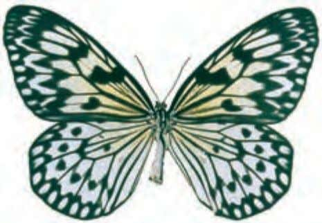 "as the ""lesser wanderer"" or the ""African monarch."" Paper Kite Idea leuconoe Asia Also known as"