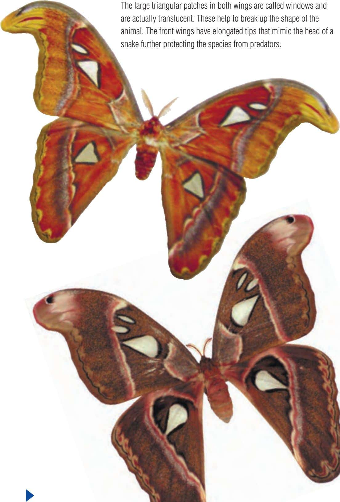 The large triangular patches in both wings are called windows and are actually translucent. These