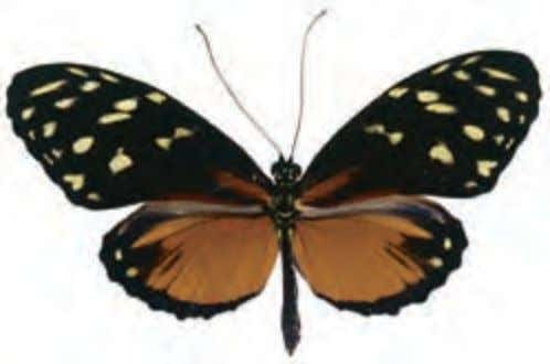 Heliconiidae Top Bottom Tiger Longwing Heliconius hecale Central to South America Look for these slow flying