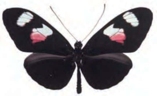 is nevertheless the same species as illustrated to the left. Common Postman Heliconius erato Central to