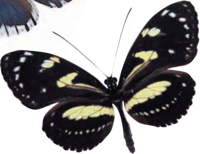 obstacles such as rivers separate the different subspecies. False Zebra Longwing Heliconius atthis South America This