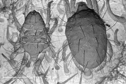 2002, APS, St Paul, MN, USA). 1.3 Tetranychus evansi T. evansi mites, male (left) and female