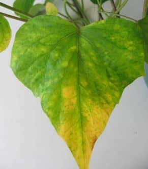 1.8 Ipomoea batatas infected with a mixture of viruses Leaf symptoms on I. batatas 'Toka Toka