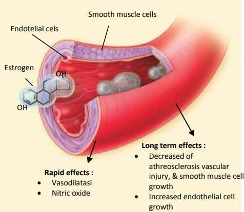 Smooth muscle cells Endotelial cels Estrogen OH OH Long term effects :  Decreased of