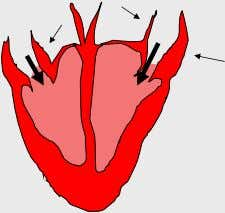 How does the Heart work? STEP TWO The atria then contract and the valves open to