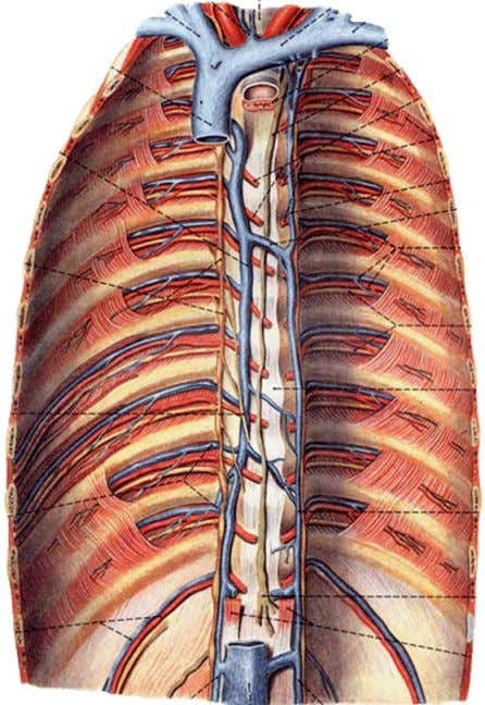 the right side of vertebral column • Joins superior vena cava by arching above right lung