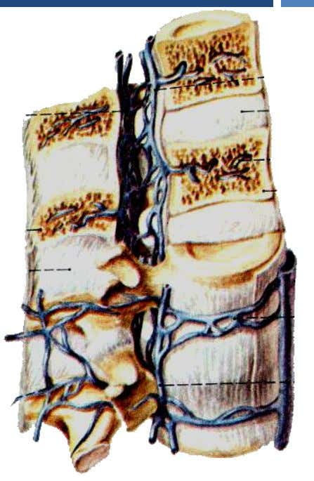 Vessels of the Thorax Veins Veins of vertebral column Consists of • External vertebral venous plexus