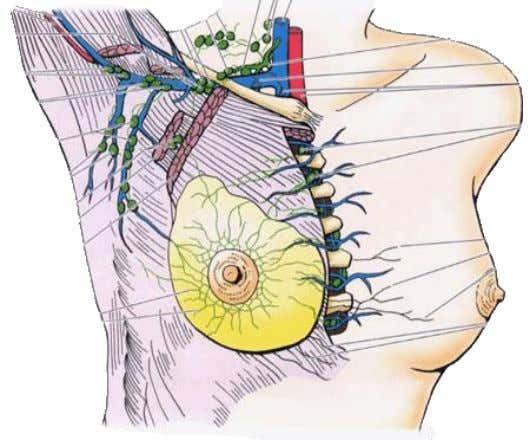 lymphatic drainage Vessels of the Thorax of thoracic wall  To axillary lymph nodes  To