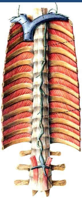 Vessels of the Thorax Thoracic Duct Thoracic duct  Enters thoracic cavity by passing through the