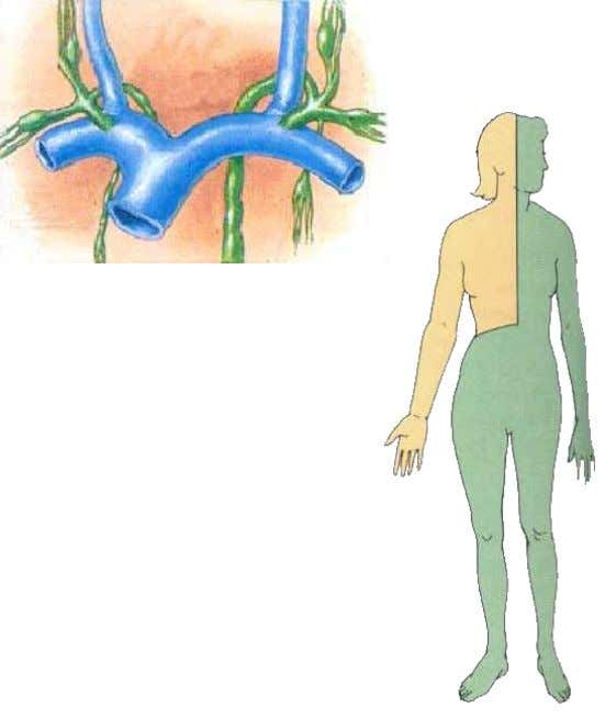 Ends by entering the right venous angle  Receives lymph from right half of head, neck,
