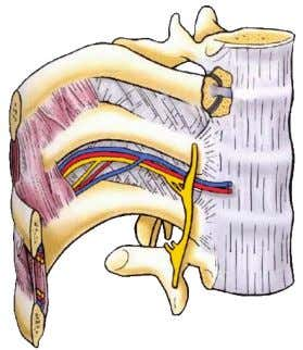 intercostal spaces  lower 5 intercostal nerves leave anterior ends of their intercostal spaces to enter