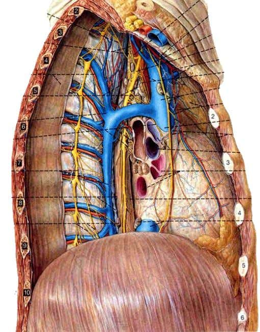 and peritoneum of diaphragm • usually (R) phrenic nerve may be distributed on liver, gallbladder and