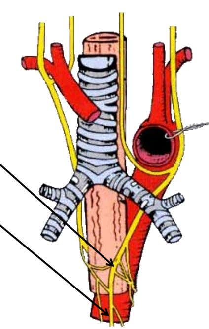 Nerves of the Thorax Vagus Nerve Right vagus nerve  Forms posterior esophageal plexus  Forms