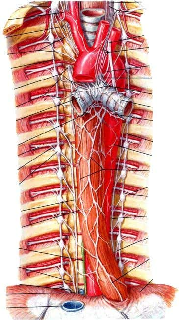 Thoracic Nerves of the Thorax Sympathetic Trunk Branches of sympathetic trunk to thoracic plexuses  Lesser