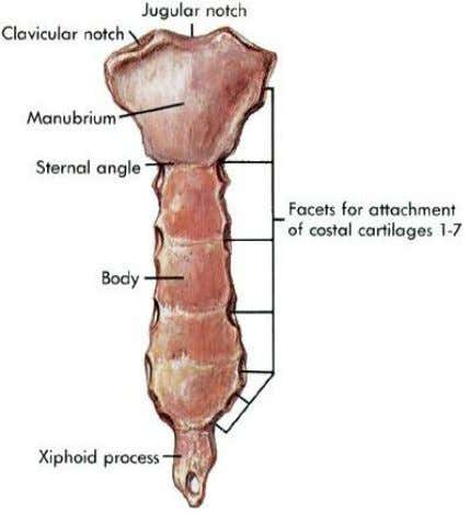 Sternum Parts: 3. Xiphoid process  lowest & smallest part  no ribs or costal cartilages