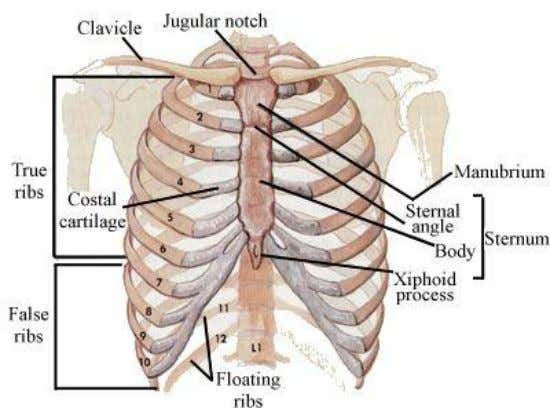 (false ribs)  11 t h & 12 t h pairs have no anterior attachment &
