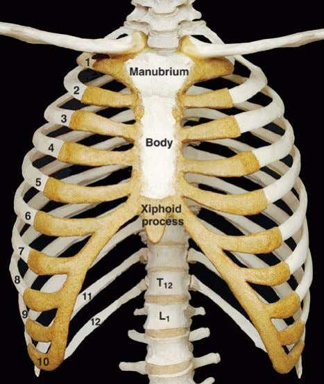 cartilage immediately above  Cartilages of the 11 t h & 12 t h ribs end