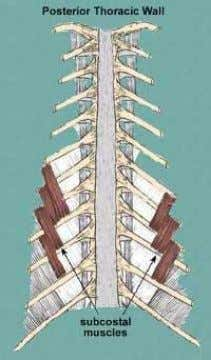 within the ribs a. Transversus thoracis (anterior) b. Innermost intercostal (lateral) c. Subcostal (posterior)