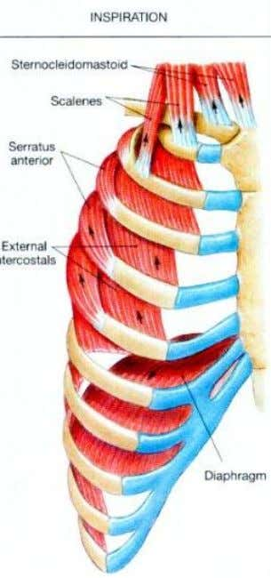 muscles, the intercostal muscles raise the 2 n d - 12 t h ribs toward the