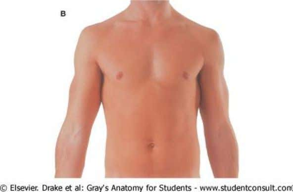 Overview of the Thorax  Male thorax: Anterior & posterior views