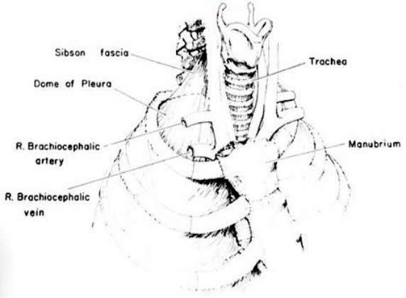 h cervical vertebra &  medially to the fascia investing the structures passing from the thorax