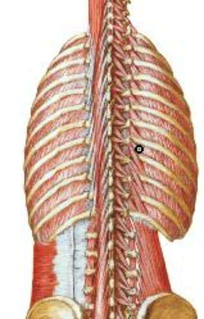 raises the rib below & is therefore an inspiratory muscle  Nerve supply: posterior rami of